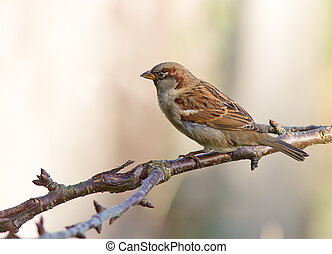 House Sparrow perched on a tree.