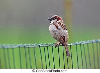 House sparrow - Photo of house sparrow standing on a fence