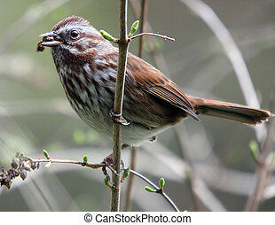 House Sparrow. Photo taken at Northwest Trek Wildlife Park,...