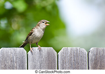 House Sparrow Singing on the Backyard Fence
