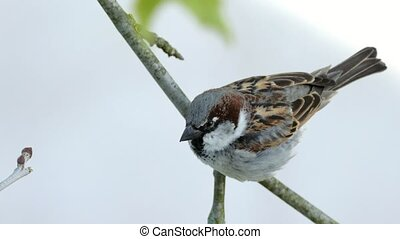 House Sparrow Sitting On A Branch Of Platane Tree And Chirping