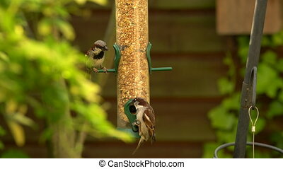 House sparrows eating seeds from a bird feeder in a British...