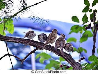 House Sparrows , Passer domesticus - House Sparrows ( Passer...