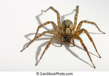 A macro shot of a brown and hairy common house spider