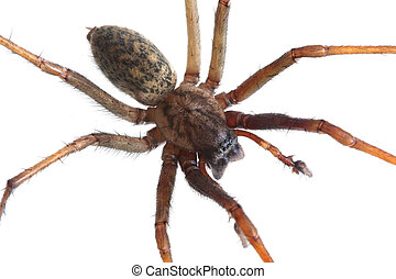 House spider (tegenaria artrica), extreme macro