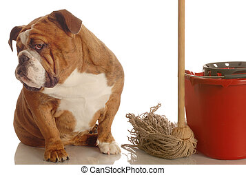 bulldog sitting beside mop and bucket - concept of dog being house broke
