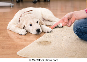 house training of guilty puppy - Golden retriever puppy...