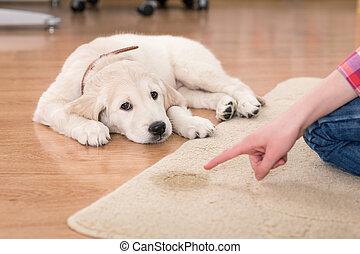 house training of guilty puppy - Golden retriever puppy...
