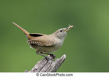 House Wren (troglodytes aedon) carrying food to her nest