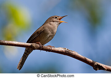 House wren singing on a branch with blue sky in the background.