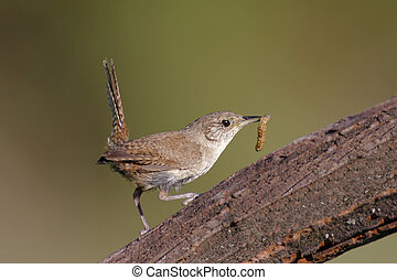 House Wren (troglodytes aedon) on a perch with a worm
