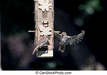 House wrens at the bird feeder