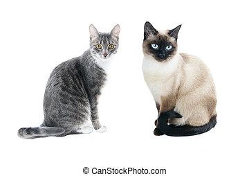 housecat, punkt, siamesisch, katze, graue katze, siegel,...