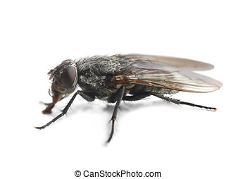 Housefly closeup on white