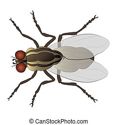 Housefly color illustration isolated on white background.