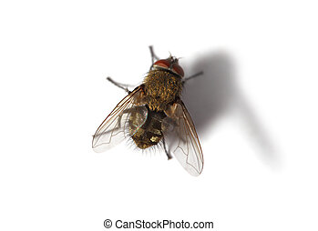 Housefly fly on white