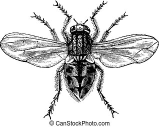 Housefly (Musca domestica) or Common housefly, magnified, vintage engraving