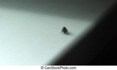 Housefly,