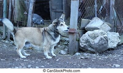 Household Dog at Stable - A small playful dog barking near...