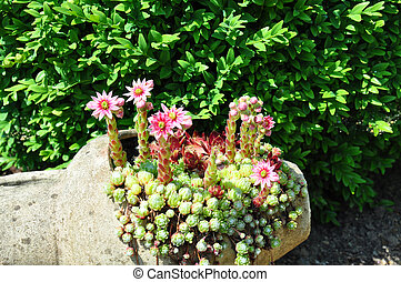 Houseleek flowers (Sempervivum) in flagon