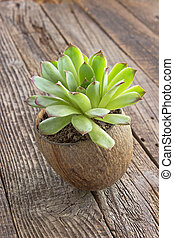 Houseleek plant in coconut pot on wooden background