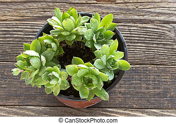 Houseleek plant in pot on wooden background