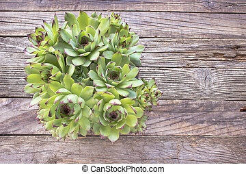 Houseleek plant (sempervivum) in pot on wooden background