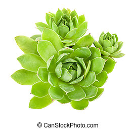Succulent plant isolated on white