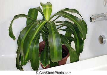 houseplant, タブ, 乾燥