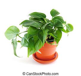 houseplant, 白い背景