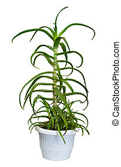 houseplant, aloe