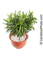 dracaena reflexa(lily bamboo) with white background