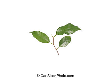 Houseplant ficus. Isolated on white.
