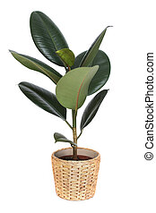 houseplant - ficus, rubber plant, in wicker pot isolated on white background.