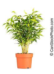 Houseplant. - Houseplant isolated on the white background.