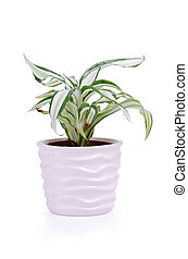 Houseplant in nice light decorative ceramic pot isolated on...