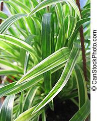 Houseplant in pot closeup. Chlorophytum.