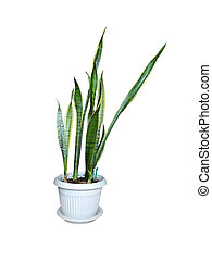 houseplant in the pot isolation on white background