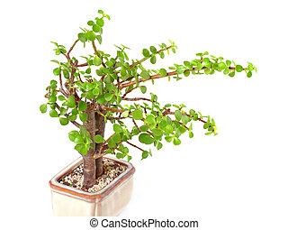houseplant money tree crassula isolated on white background