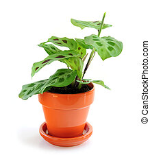 houseplant, op wit, achtergrond