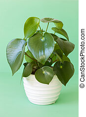 houseplant peperomia in white pot