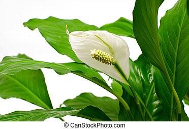 Houseplant - Spathiphyllum floribundum (Peace Lily). White ...