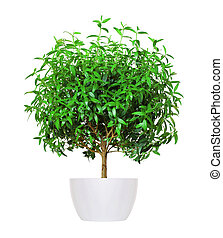young myrtle a potted plant isolated over white