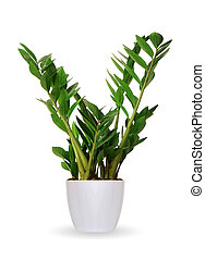 Houseplant - Zamioculcas a potted plant isolated over white...