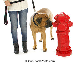 housetraining dog - taking dog out to pee at a fire hydrant - bull mastiff