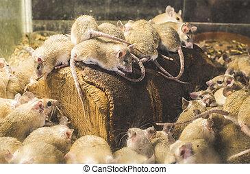 hout, ratten