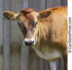 houten, voorkant, achtergrond, koe, jersey