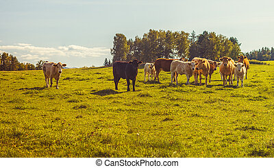 hovězí, houf, dobytek, -, kráva, krmivo, pastvisko