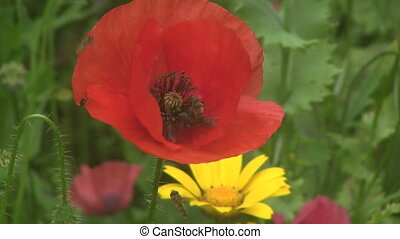 Hover Flies feeding on poppies.