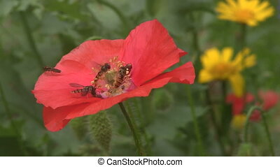 Close up of Hover Flies feeding on wiled poppies in a English meadow.